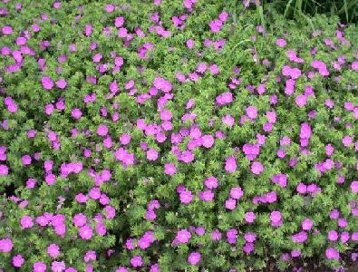 Bloody Cranesbill Flowers