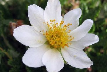 Mountain Avens Flower