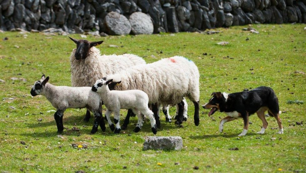Caherconnell Stone Fort and Sheepdog Demonstrations
